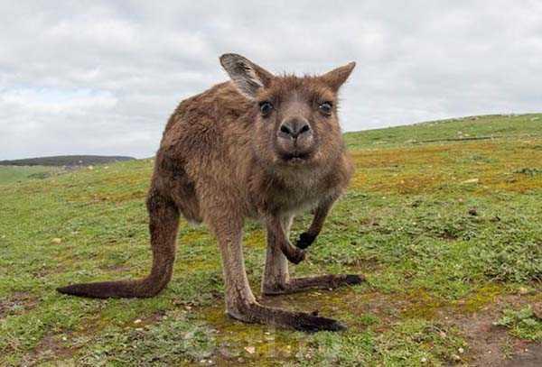 Факты о кенгуру