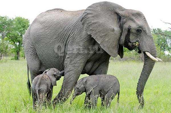 Факты о слонах