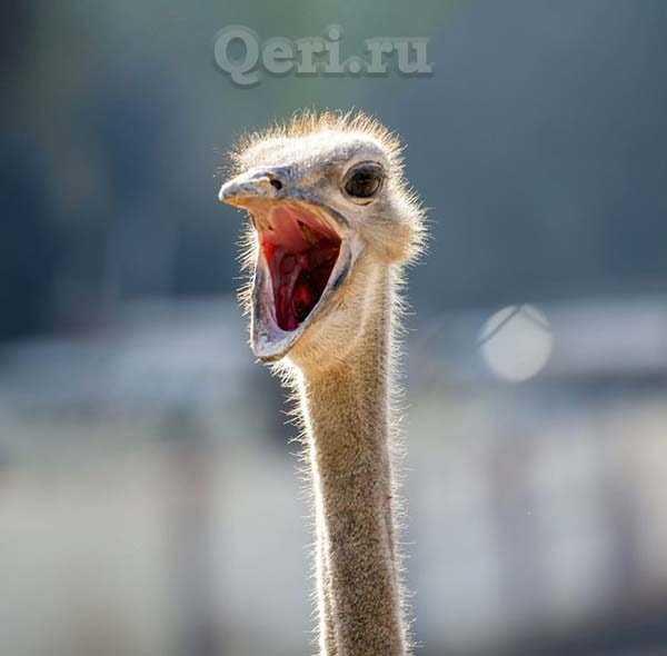 Факты о страусах