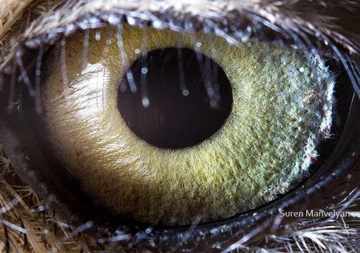 Глаз сыча