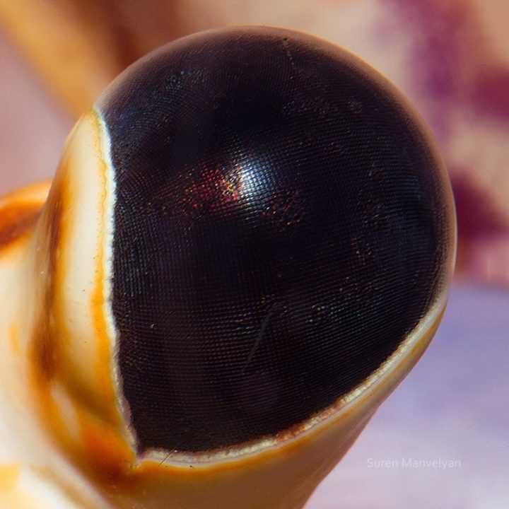 Глаз лобстера