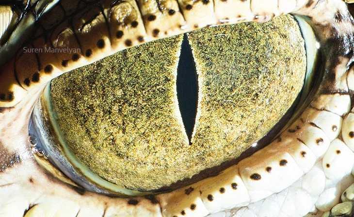 Глаз крокодила — динозавра современности