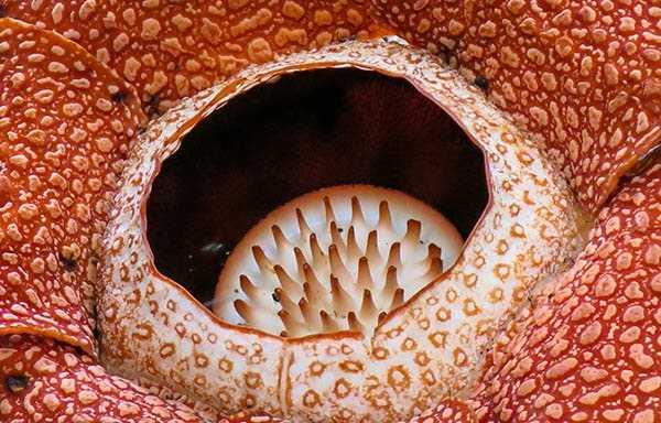 растение Раффлезия